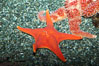 Unidentified sea star. Image #27205