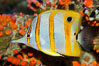 Copperband butterflyfish. Image #27216