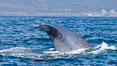Blue whale and San Onofre Nuclear Power generating station, raising fluke prior to diving for food, fluking up, lifting tail as it swims in the open ocean foraging for food. Dana Point, California, USA