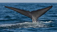 Blue whale, raising fluke prior to diving for food, fluking up, lifting tail as it swims in the open ocean foraging for food. Dana Point, California, USA