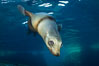 California sea lion injured by fishing line. Sea of Cortez, Baja California, Mexico. Image #27419