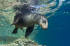 California sea lion underwater. Sea of Cortez, Baja California, Mexico. Image #27423
