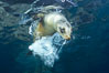 California sea lion underwater. Sea of Cortez, Baja California, Mexico. Image #27424