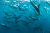 Large group of bachelor adult male California sea lions, underwater view, at Isla Las Animas near La Paz, Sea of Cortez, Baja California. Mexico. Image #27460
