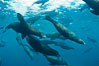 Large group of bachelor adult male California sea lions, underwater view, at Isla Las Animas near La Paz, Sea of Cortez, Baja California. Mexico. Image #27462
