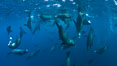 Large group of bachelor adult male California sea lions, underwater view, at Isla Las Animas near La Paz, Sea of Cortez, Baja California. Mexico. Image #27463