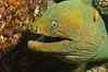 Panamic Green Moray Eel, Sea of Cortez, Baja California, Mexico. Image #27466
