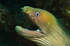 Panamic Green Moray Eel, Sea of Cortez, Baja California, Mexico. Image #27468