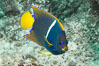 Juvenile King angelfish in the Sea of Cortez, Mexico. Sea of Cortez, Baja California, Mexico. Image #27472