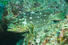 Starry grouper, Sea of Cortez, Baja California, Mexico. Image #27482