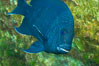 Giant damselfish, Sea of Cortez, Baja California, Mexico. Sea of Cortez, Baja California, Mexico. Image #27496