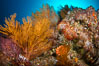Reef with gorgonians and marine invertebrates, Sea of Cortez, Baja California, Mexico. Image #27502