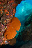 Reef with gorgonians and marine invertebrates, Sea of Cortez, Baja California, Mexico. Image #27505