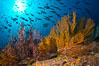 Reef with gorgonians and marine invertebrates, Sea of Cortez, Baja California, Mexico. Image #27520