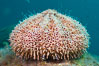 Flower sea urchin with pedicellariae visible. Sea of Cortez, Baja California, Mexico. Image #27528