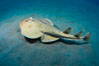 Lesser electric ray, Sea of Cortez, Baja California, Mexico. Image #27549