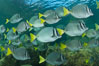 Yellow-tailed surgeonfish schooling, Sea of Cortez, Baja California, Mexico. Image #27572
