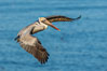 Brown pelican in flight. The wingspan of the brown pelican is over 7 feet wide. The California race of the brown pelican holds endangered species status. In winter months, breeding adults assume a dramatic plumage. La Jolla, California, USA. Image #28328
