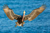 Brown pelican in flight, spreading wings wide to slow in anticipation of landing on seacliffs. La Jolla, California, USA. Image #28336