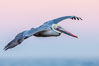 Brown pelican in flight, softly lit by flash against pink predawn sky. La Jolla, California, USA. Image #28346