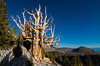 Ancient bristlecone pine trees in Patriarch Grove, display characteristic gnarled, twisted form as it rises above the arid, dolomite-rich slopes of the White Mountains at 11000-foot elevation. Patriarch Grove, Ancient Bristlecone Pine Forest. White Mountains, Inyo National Forest, California, USA. Image #28527