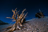 Ancient bristlecone pine trees at night, under a clear night sky full of stars, lit by a full moon, near Patriarch Grove. White Mountains, Inyo National Forest, California, USA. Image #28535