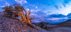Ancient Bristlecone Pine Tree at sunset, panorama, with storm clouds passing over the White Mountains.  The eastern Sierra Nevada is just visible in the distance. Ancient Bristlecone Pine Forest, White Mountains, Inyo National Forest, California, USA. Image #28781