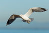 Ring-billed gull, adult non-breeding, in flight. La Jolla, California, USA. Image #28990