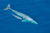 Aerial photo of gray whale calf and mother. This baby gray whale was born during the southern migration, far to the north of the Mexican lagoons of Baja California where most gray whale births take place. San Clemente, USA