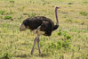 Common Ostrich. Amboseli National Park, Kenya. Image #29494