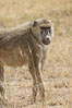 Yellow Baboon, Amboseli National Park, Kenya. Image #29496