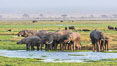 African elephant herd, drinking water at a swamp, Amboseli National Park, Kenya. Image #29529