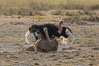 Common Ostrich mating. Amboseli National Park, Kenya. Image #29572