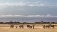 African elephants below Mount Kilimanjaro, Amboseli National Park, Kenya. Amboseli National Park, Kenya. Image #29603
