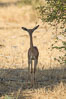 Gerenuk, Meru National Park, Kenya.  Female.  The Gerenuk is a long-necked antelope often called the giraffe-necked antelope.