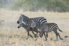 Zebra running, Meru National Park, Kenya. Meru National Park, Kenya. Image #29634