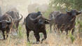 Cape Buffalo herd, Meru National Park, Kenya. Meru National Park, Kenya. Image #29638