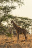 Reticulated giraffe, Meru National Park, Kenya. Image #29646