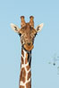 Reticulated giraffe, Meru National Park. Kenya. Image #29653