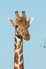 Reticulated giraffe, Meru National Park. Kenya. Image #29654