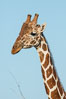 Reticulated giraffe, Meru National Park. Kenya. Image #29655