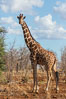 Reticulated giraffe, Meru National Park. Kenya. Image #29670
