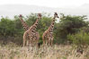 Reticulated giraffe, Meru National Park. Kenya. Image #29674