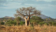 Baobab Tree, Meru National Park, Kenya. Image #29683