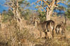 Waterbuck, Meru National Park, Kenya. Image #29684