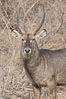 Waterbuck, Meru National Park, Kenya. Image #29694