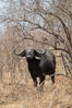 Cape Buffalo, Meru National Park, Kenya. Image #29720