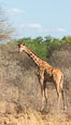 Reticulated giraffe, Meru National Park. Kenya. Image #29753