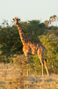 Reticulated giraffe, Meru National Park. Kenya. Image #29755