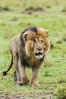 Lion, adult male, Maasai Mara National Reserve, Kenya. Image #29785